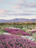 California  Anza Borrego Desert Sp  Sand Verbena in the Desert