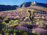 California  Sierra Nevada  Lupine and a Joshua Tree  Nine Mile Canyon