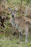 Australia  Perth  Yanchep National Park Western Gray Kangaroo in Bush Habitat