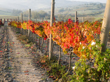 Europe  Italy  Tuscany Autumn Vineyards in Bright Colors