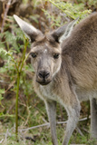 Australia  Perth  Yanchep National Park Western Gray Kangaroo Close Up of Face