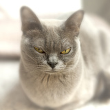 Close Up of a Blue American Burmese Cat