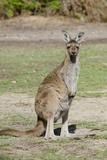 Australia  Perth  Yanchep National Park Western Gray Kangaroo