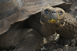Ecuador  Galapagos Fe Giant Tortoise at Charles Darwin Station
