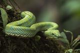 Captive Eyelash Viper  Bothriechis Schlegelii  Coastal Ecuador