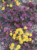 California  Death Valley Park  Woolly Daisy and Purple Mat Flowers