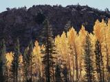 California  Sierra Nevada  Autumn Aspens in the Bishop Creak Area