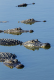 American Alligators at Deep Hole in the Myakka River  Florida