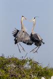 Calhoun County  Texas Great Blue Heron  Ardea Herodias  Displaying
