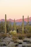 Arizona  Organ Pipe Cactus Nm Saguaro Cactus and Chain Fruit Cholla