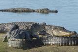 American Alligators Sunning  Myakka River  Myakka River Sp  Florida