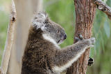 Australia, Perth, Yanchep National Park. Koala Bear a Native Arboreal Marsupial Papier Photo par Cindy Miller Hopkins