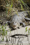 Australia, Queensland, Daintree. Dsaltwater Crocodile Papier Photo par Cindy Miller Hopkins