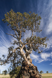 Australia  Barossa Valley  Springton  the Herbig Tree
