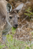 Australia  Perth  Yanchep National Park Western Gray Kangaroo Close Up Eating