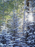 Colorado  San Juan Mountains  First Snow in the Forest