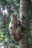 Mother Rhesus Macaque and Baby Wulingyuan District  China