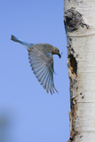 Mountain Bluebird Returning to Nest Cavity with Food