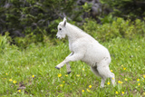 Mountain Goat Kid Kicks Up His Heels in Glacier National Park  Montana  USA