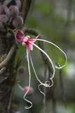 Ecuador  Orellana  Napo River Wild Cocoa Plant  Herrania Tree