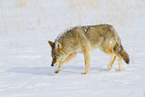 Wyoming  Yellowstone National Park  Coyote Hunting on Snowpack