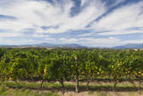 Australia  Victoria  Yarra Valley  Vineyard