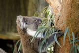 Australia, South Australia, Adelaide. Cleland Wildlife Park. Koala Papier Photo par Cindy Miller Hopkins