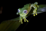 Ghost Glass Frog Found in Vegetation Near Stream Costa Rica