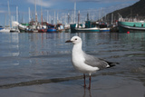 Hartlaubs Gull  Hout Bay Harbor  Western Cape  South Africa