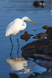 Lake Murray San Diego  California a Great Egret Prowling the Shore