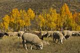 Trailing of the Sheep Festival  Autumn  Ketchum  Idaho  USA