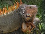 Green Iguana  Zoo Ave Wildlife Park  La Garita De Alajuela  Costa Rica