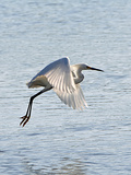 Florida  Venice  Snowy Egret Flying