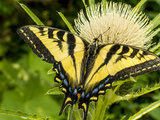 Western Tiger Swallowtail on a Thistle  Great Bear Wilderness  Montana