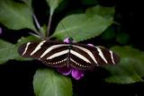 Zebra Longwing Butterfly  La Finca De Mariposas  Alajuela  Costa Rica