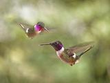 Magenta Throated Woodstar Hummingbird Gallery  Monteverde  Costa Rica