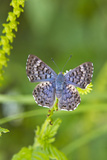 Cameron County  Texas Blue Metalmark Butterfly Nectaring  Heliotrope