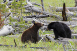 Black Bears  Spring Courting