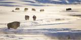Wyoming  Yellowstone National Park  Bison Herd Along Alum Creek in Winter