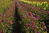 Dahlias  Dahlia Farm  Canby  Oregon  USA