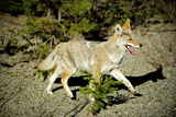 A Coyote  Searches for Prey in the Cariboo Mts of BC  Canada