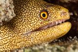 Night Dive Photograph of Goldentail Eel Off Bonaire Papier Photo par James White
