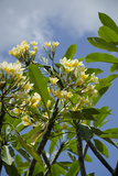 Indonesia  Island of Lombok Lingsar Temple Flowering Frangipani Tree