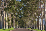 Australia  Perth  Kings Park  Trees on Fraser Avenue