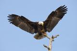 Bald Eagle Landing  Haliaeetus Leucocephalus  Southwest Florida