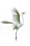 Great Egret in Flight  Digitally Altered