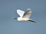 Florida  Venice  Snowy Egret Flying