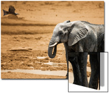 Elephant Standing and Eagle Flying Botswana Africa