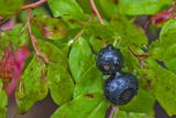 Ripe Huckleberries in a Light Rain Near Whitefish  Montana  USA