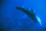 Atlantic Humpback Whale Rises to the Surface  Dominican Republic